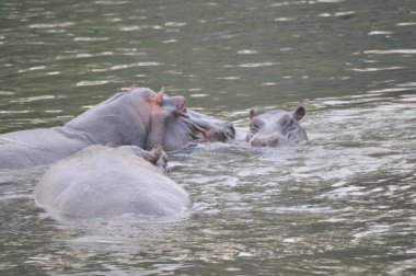 Pod of hippos in the river