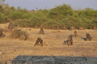 Baboon in Chobe National Park