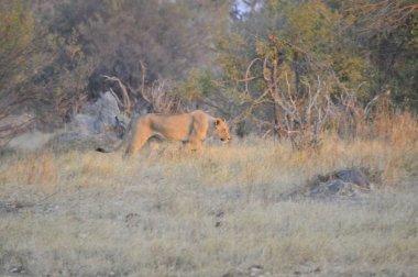 A safari scene of a lion pride, including a male lion and his lioness