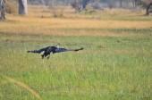 Africká Openbill čáp v Okavango Delta