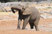 Slon africký v národním parku Etosha