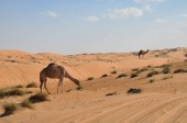 single-humped camel in Oman desert