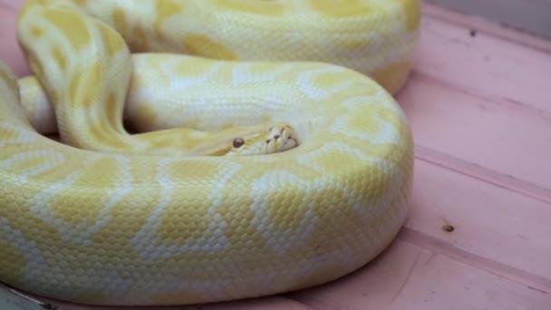 sárga Python kígyó. Sárga színű, mintás, veszélyes lény.