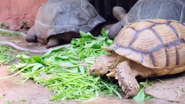 Galapagos teknős. Nagy teknős. Az állatok fogalma az állatkertben.