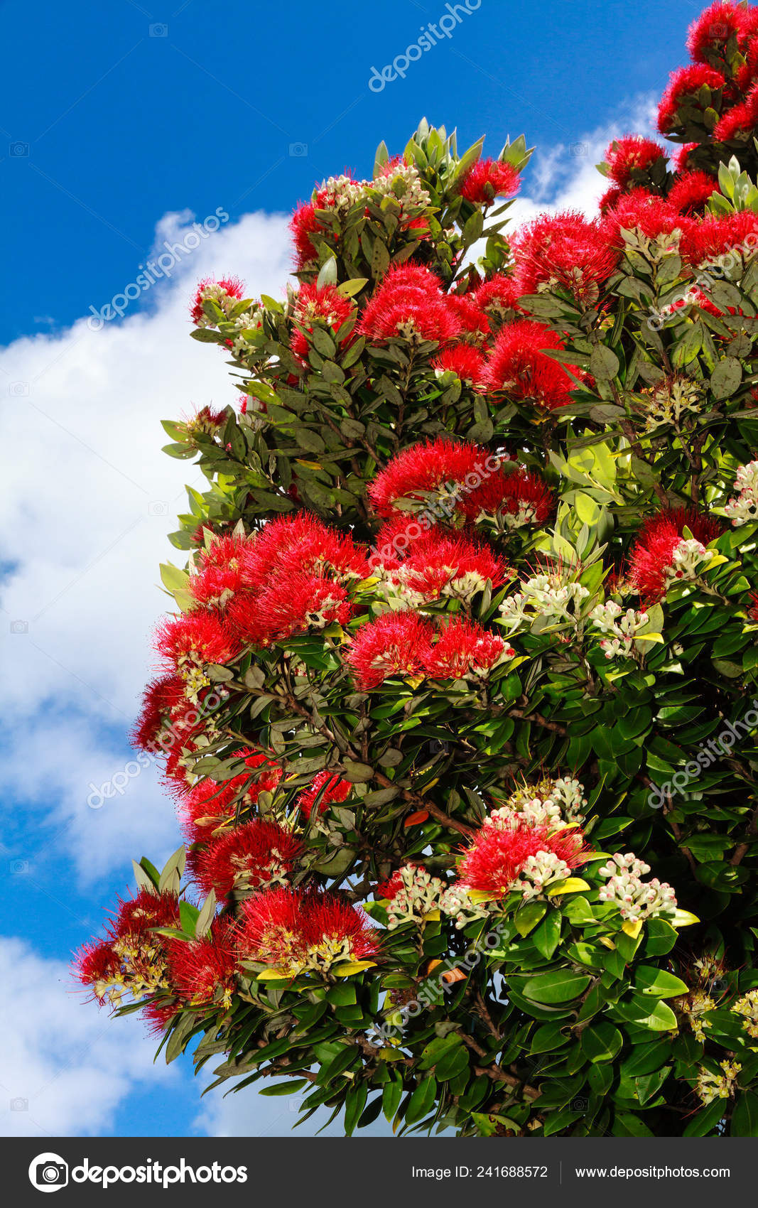 New Zealand Christmas Tree.Pohutukawa Tree Metrosideros Excelsa Also Known New Zealand