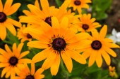 Close up of beautiful yellow summer flowers in a garden and back