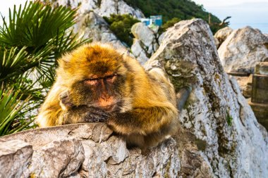 Macaque monkey relaxing on the top of the Rock of Gibraltar, UK.