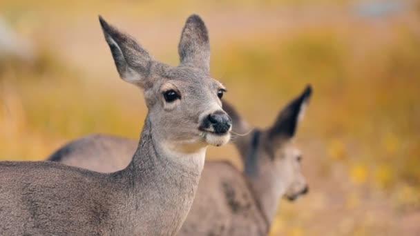 Krásné divoké zvíře s velkýma očima a dlouhýma ušima. Roztomilí sobi na podzim
