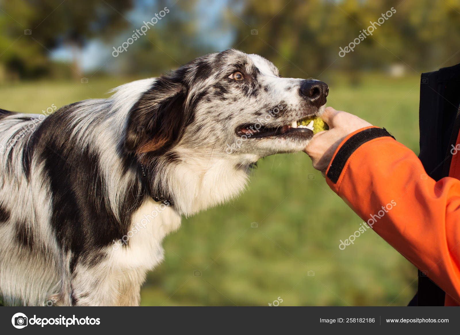 Obedience Dog Concept Border Collie Puppy Brought The Tennis Ba Stock Photo C Smrm1977 258182186