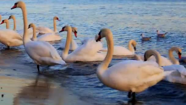 Beautiful swans and seagulls in the blue sea
