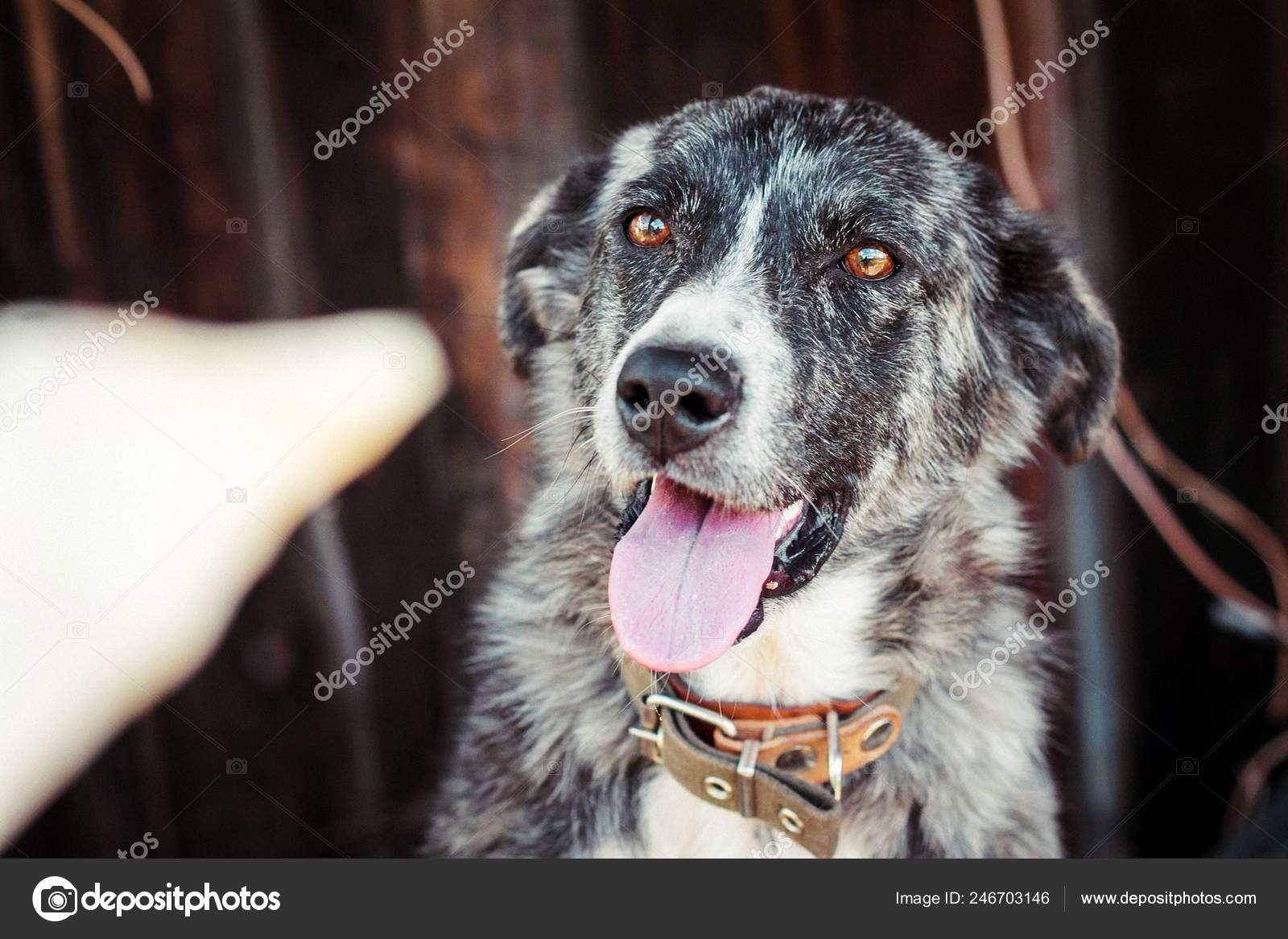 Dog Color Merle Border Collie Executes Commands Stock