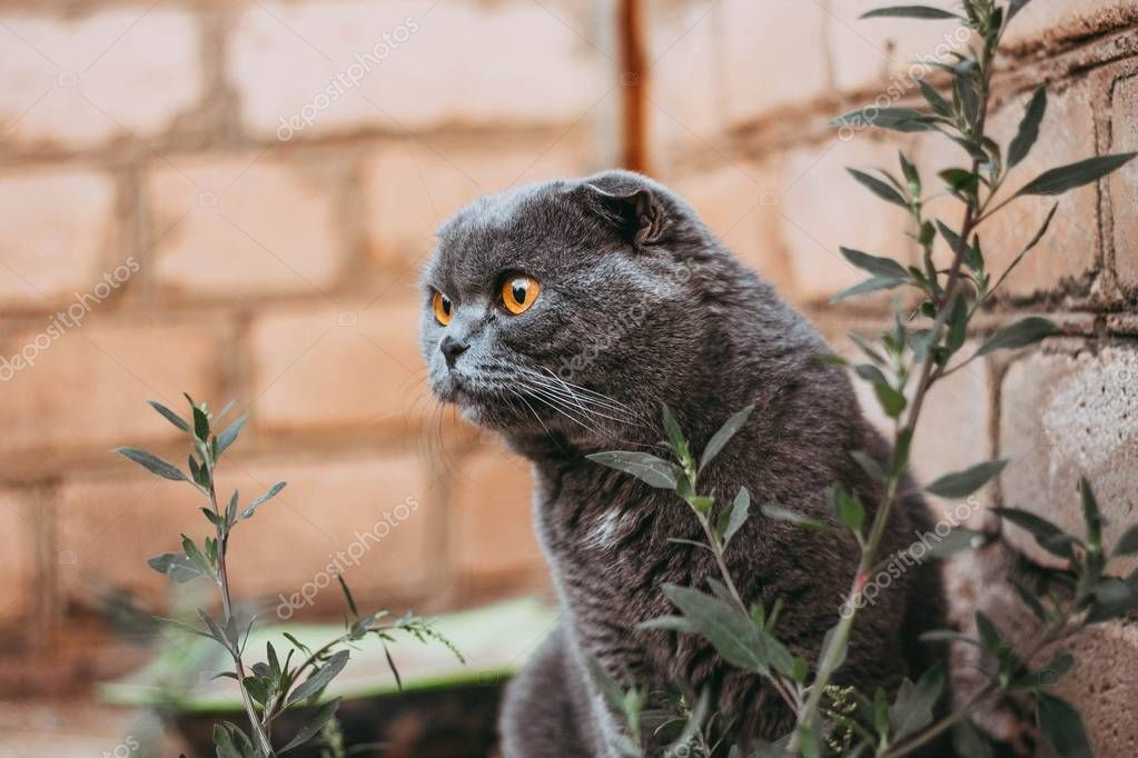 gray scottish fold cat near a brick wall with surprise looks to the side