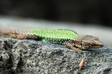 Green Lizard crawling on a stone cliff