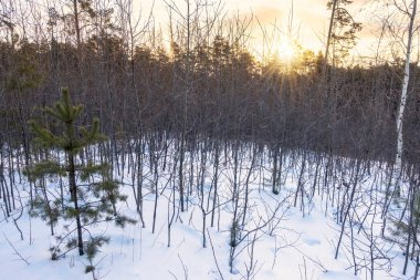 Young pines and birches in snow in the winter forest. Winter Forest background