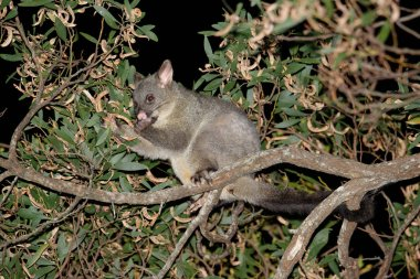 The common brushtail possum (Trichosurus vulpecula, from the Greek for
