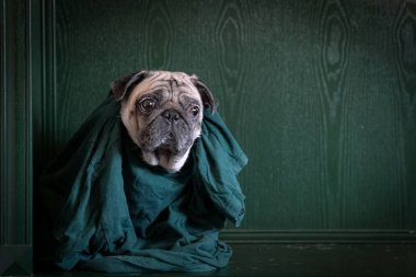 Portrait of a pug dog in green shirt on green background. Copy s
