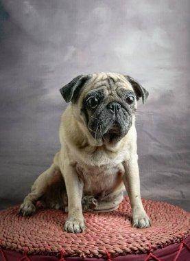 Portrait of cute pug dog with a shocking expression, eyes wide o