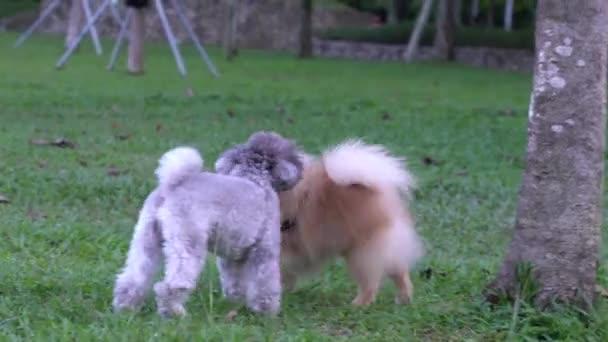 Pomeranian a pudl psi hrát a čichat se navzájem v terénu.
