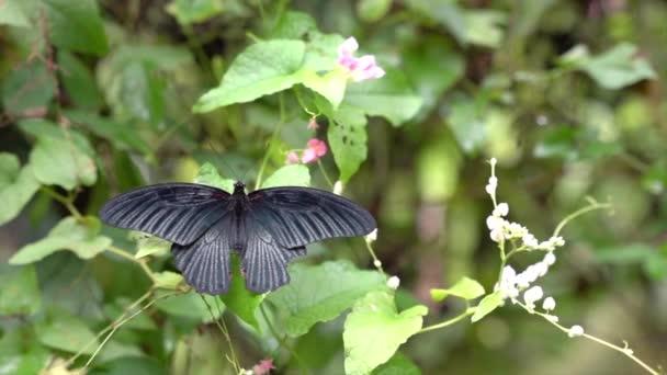 Velký mormonský motýl, s křídly dokořán otevřenými v zahradě.