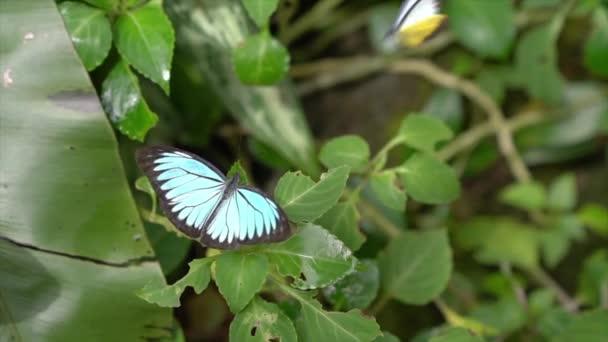 Blue Morph Schmetterling mit weit geöffneten Flügeln in einem Garten