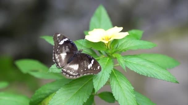 Motýl s křídly doširoka otevřenými spočívajícími na žlutém květu se zeleným listem.