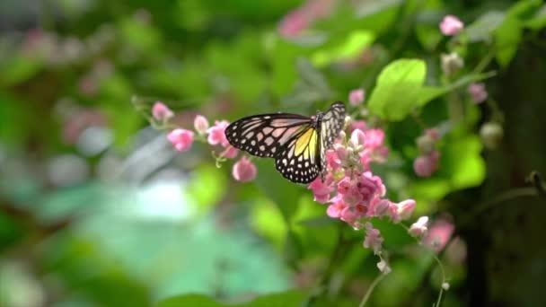 Žlutý skelný tygří motýl v krásné zahradě s růžovými květy.
