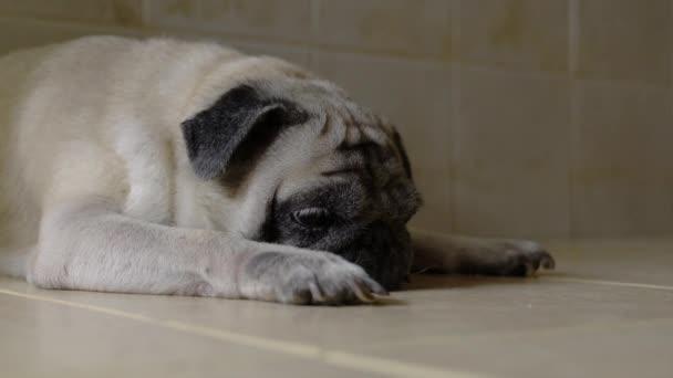 Pug dog alszik, vagy szundikál. Fáradt szemek, unatkozó kifejezés.