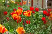 piros narancs és sárga tulipán a területen szelektív fókusz