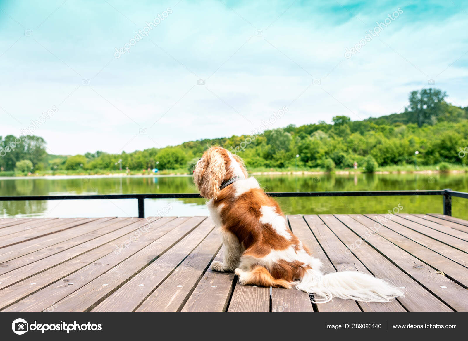 Full Length Shot Cute Cavalier King Charles Spaniel Puppy Sitting Stock Photo C Sepy 389090140