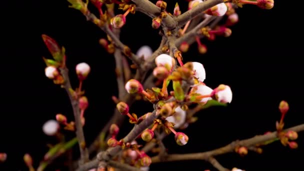 white flowers blossoms on the branches cherry