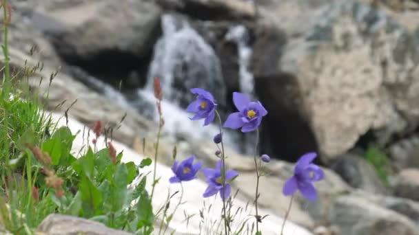 Aquilegia. Fialové květy a malým vodopádem. Altaj