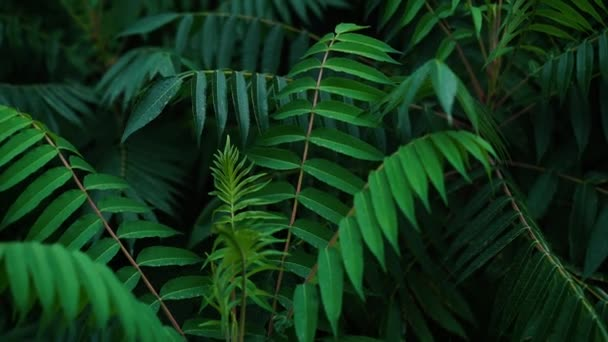large fern plants close up in a dark key, natural natural background