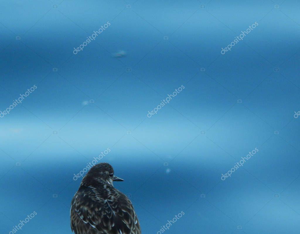 Seabird looking over sea background unfocused