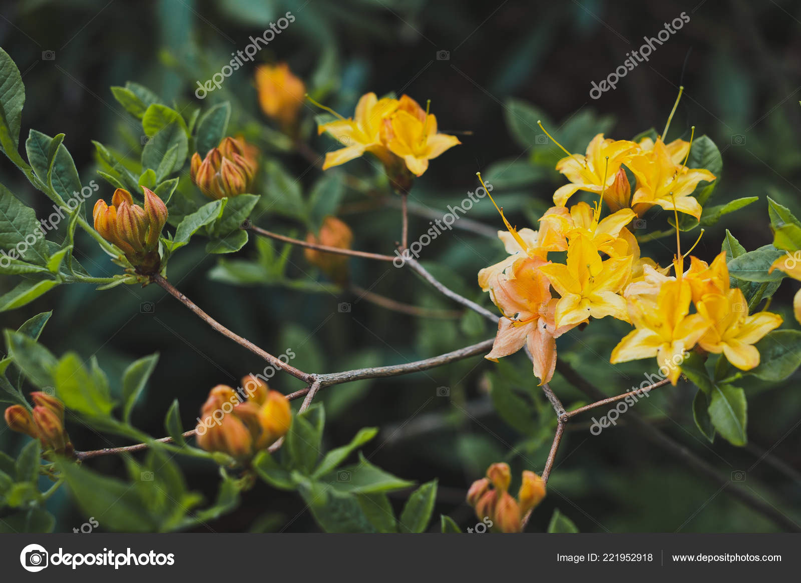 Flowers Rhododendron Yellow Flowering Stock Photo