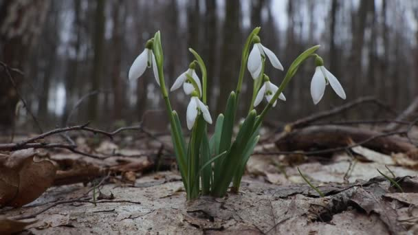 snowdrop,snowdrop in the forest,Blooming snowdrops in the forest