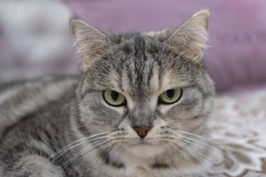 Scottish gray cat breed, the muzzle is close up, the concept of relaxation. Serious look. Close up