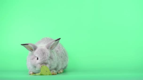 Adorable bunny rabbit is eating green celery on green background