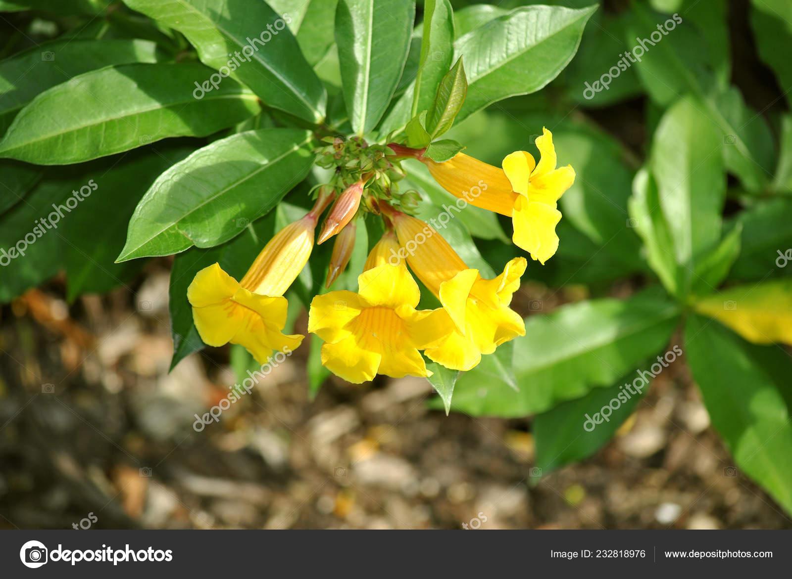 Allamanda Schottii Flowers Florida Botanical Gardens Stock Photo