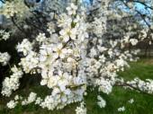 Jarní kvetení bílých květů na větvi, zblízka