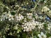 Větev třešňové švestky s nádherbílými květy