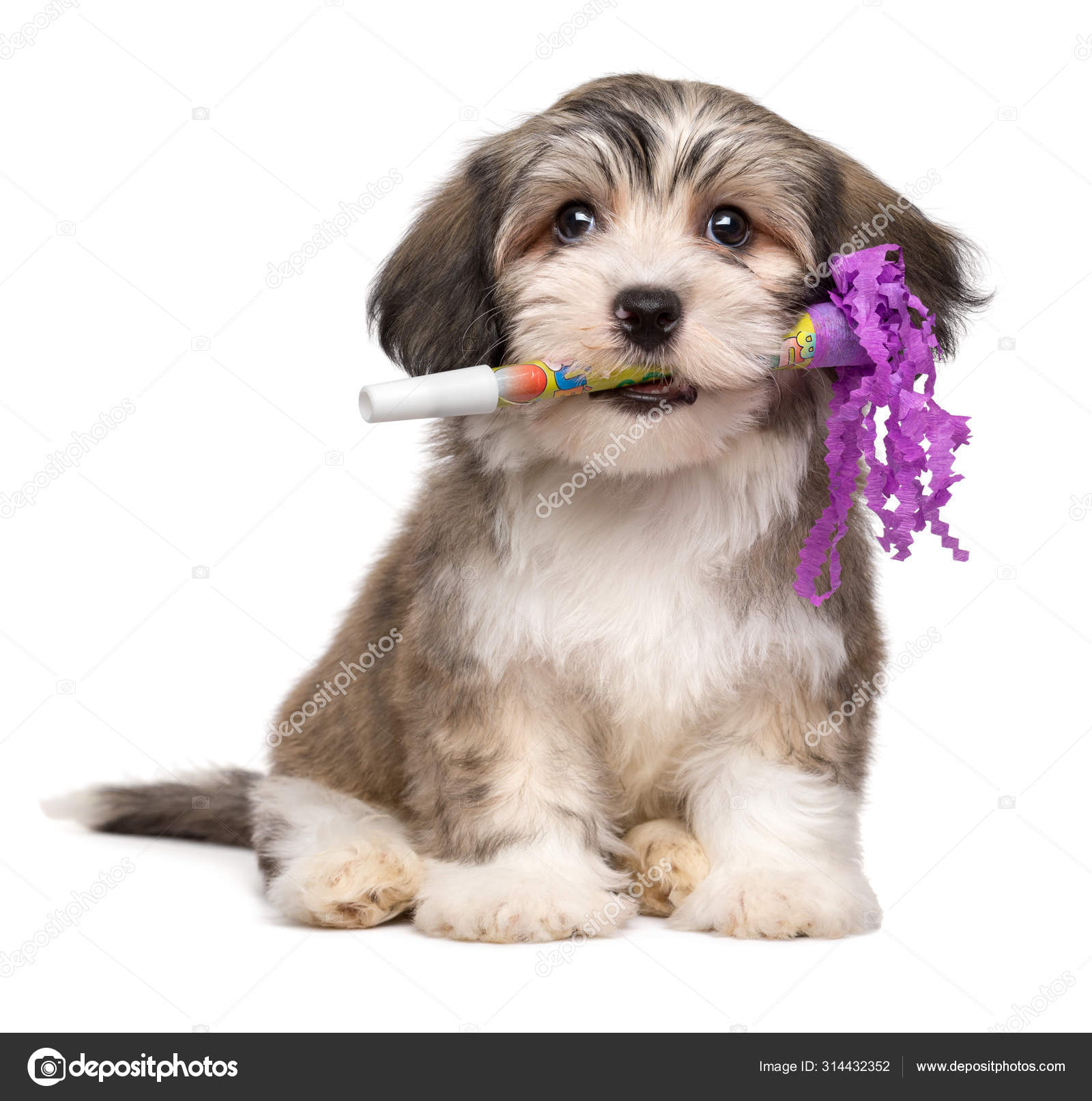 Cute Havanese Puppy With A New Year S Eve Trumpet In His Mouth Stock Photo C Mdorottya 314432352