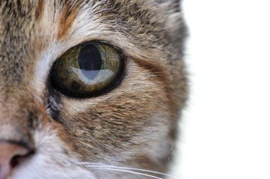 Close portrait of an adorable tabby cat - studio shot, isolated on white.