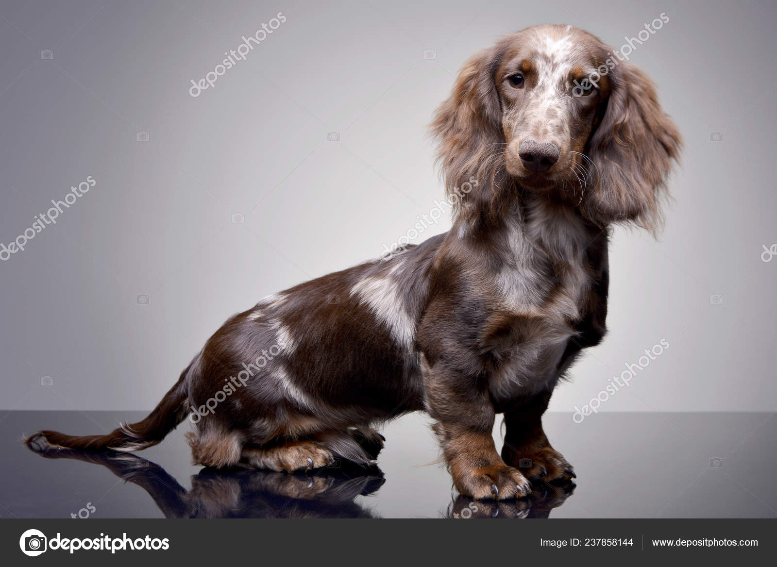 Studio Shot Cute Dachshund Puppy Sitting Grey Background Stock Photo C Kisscsanad 237858144