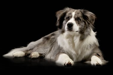 Studio shot of a cute Border Collie puppy lying on black background.