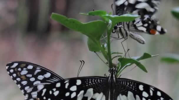 Krásné video o společném limetném motýlku sedícího na květinových rostlinách v přírodním prostředí.