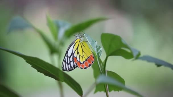 Beautiful video of an Indian Jezebel butterfly sitting on the flower plant in its natural habitat
