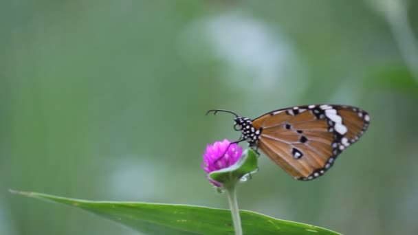 A video of The Plain Tiger Butterfly sitting on the flower plant  and feeding itself in its natural habitat