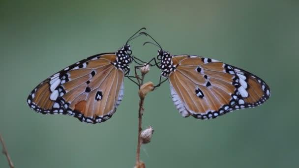 A videó a Plain Tiger Butterfly ül a virág növény-és takarmányozási magát a természetes élőhelyükön