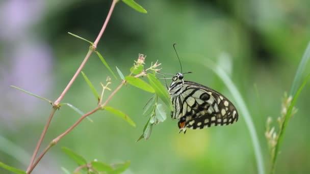 Gyönyörű videó egy közös lime pillangó ül a virágnövények természetes élőhelyükön.