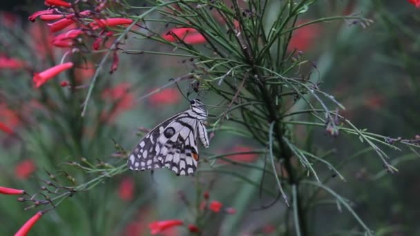 Beautiful Video of a common lime butterfly sitting on the flower plants in its natural habitat.